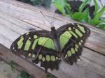 Malachite butterfly by Sia-Mon