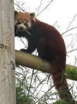 Red panda by Sia-Mon