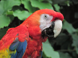 Macaw by Sia-Mon