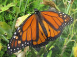 The Monarch by Sia-Mon