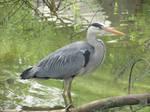 Grey heron by Sia-Mon
