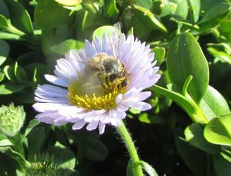 Honey bee by Sia-Mon