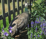 Peahen in the flowers by Sia-the-Mawile