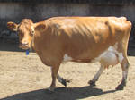 Cow stroll by Sia-Mon