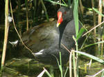 Moorhen by Sia-the-Mawile