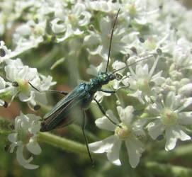 Female flower beetle by Sia-Mon