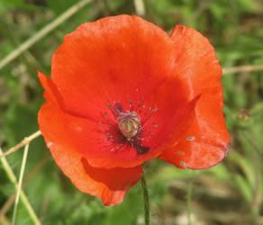 Red poppy by Sia-Mon