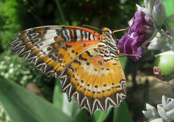Leopard lacewing by Sia-Mon