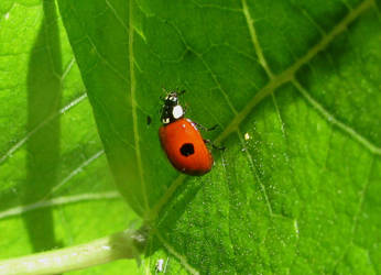 Two spot ladybird by Sia-Mon