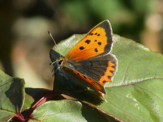 Small Copper butterfly by Sia-the-Mawile