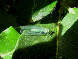 Green lacewing by Sia-the-Mawile