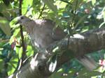 Collared dove by Sia-Mon