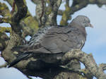Tree pigeon by Sia-the-Mawile