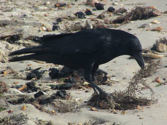 Vegan crow by Sia-the-Mawile