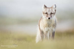 Arctic Fox by chriskaula