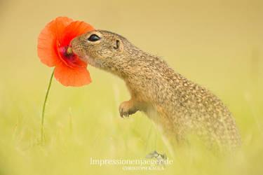 European ground squirrel by chriskaula