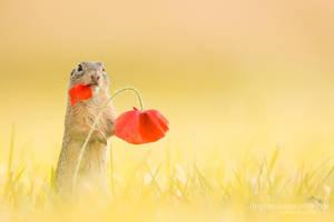 Ground Squirrel by chriskaula