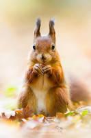 Squirrel by chriskaula