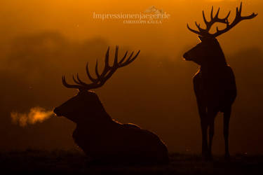 Red deer by chriskaula