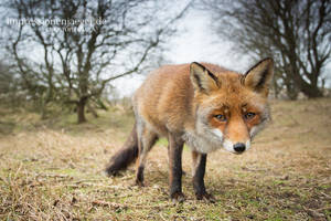 Red Fox by chriskaula