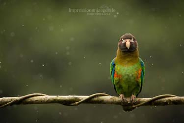 Parrot in the rain by chriskaula