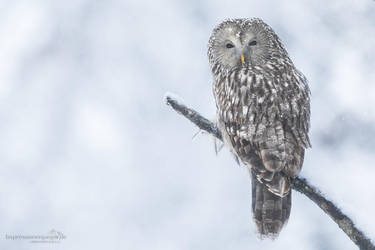 Ural owl by chriskaula