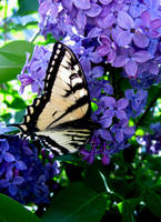 Lilac and butterfly  2 by chrisravensar