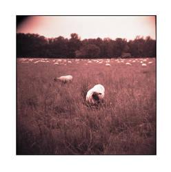 The Sheep and the Holga - No.2 by Zendar