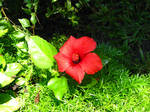 Red Hibiscus in the Bahamas by Duches77