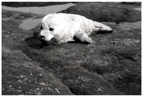 Baby Seal in Black and White by SLJones-photo