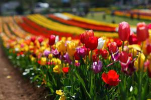 Tulips by jessk92