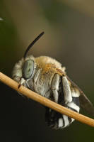 Solitary bee I by buleria