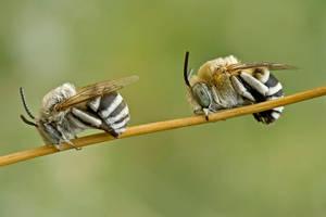 Solitary bee II by buleria
