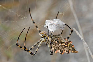 Argiope Lobatta In action by buleria