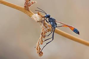 Amophila Sp. by buleria