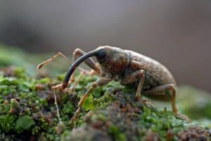 Curculionidae Sp by buleria