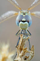 Blue eyes dragonfly by buleria