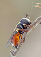 Unknown hoverfly sp by buleria