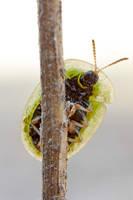Cassida viridis by buleria