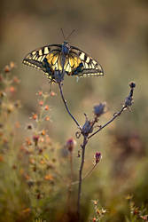 Backlight Papilio by buleria
