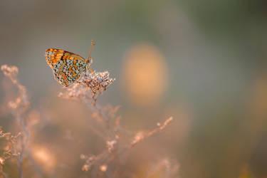 Melitaea phoebe by buleria