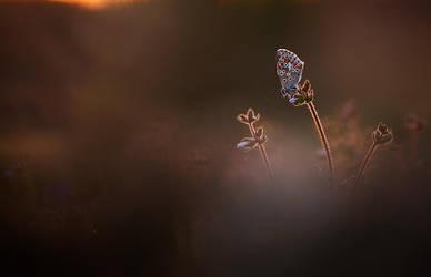Arici cramera by buleria