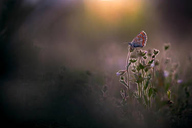 Aricia cramera II by buleria