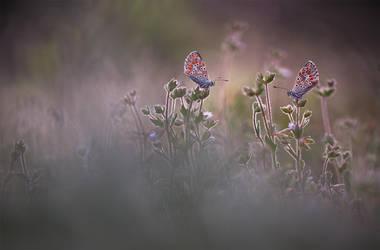 Aricia pair by buleria