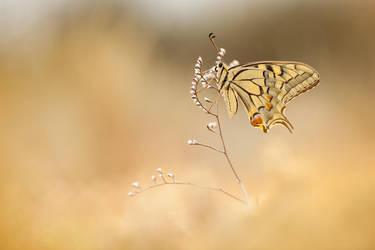 Papilio machaon by buleria