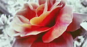 rose. by Fotuna