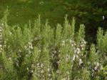 Herbs in Bloom by jahg-stock