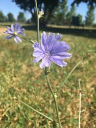 Blue Flower by FrillMaiden