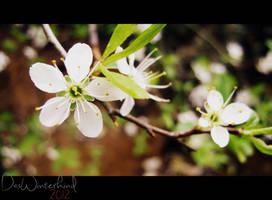 cherry blossom by Thavia