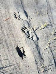 Kowee Creek, 2: otter tracks by cmmdrsigma
